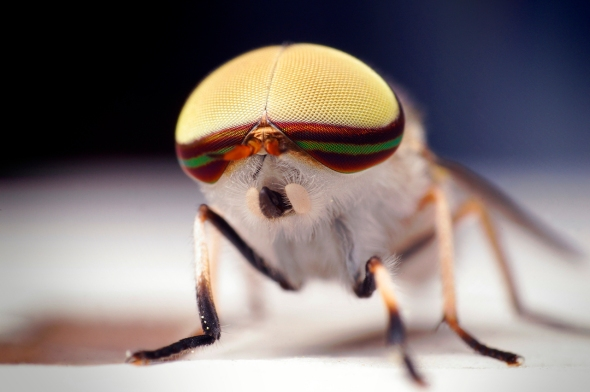 Male Striped Horse Fly. Photo by Thomas Shahan